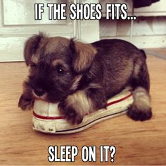"""So DogGone Funny!: 16044 - Today's Puppy seems to feel: """"If the shoe fits, sleep on it."""""""