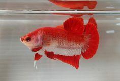 Betta Fish Types, Betta Fish Care, Beta Fish, Sea Creatures, Fish Tank, Panda, Aquarium, Tropical, Birds