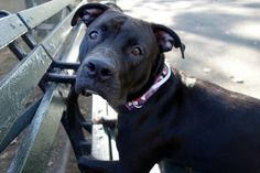 DIESEL - A1084490 - - Manhattan  Please Share:TO BE DESTROYED 10/05/16: A volunteer writes: I was told about a gorgeous, shy and scared dog…a dog who wanted to be friends but was so overwhelmed by no longer being with his family that he was having a hard time. I would, wouldn't you? So, Diesel became my mission, my mission to help him relax, make friends and get as comfortable as he possibly could in this strange new environment. He greeted me softly from his ke