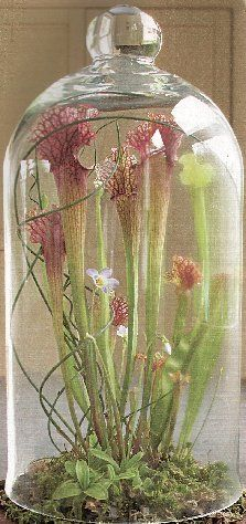 Pitcher plant under a glass cloche.