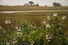 Wildflowers in bloom visiting Point Reyes National park - Travel Photo Mondays #PointReyes #MarinCounty #california