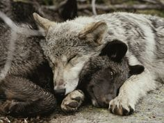 Let sleeping wolves lie...Two five month old gray wolf pups sleeping peacefully together by Jim and Jamie Dutcher