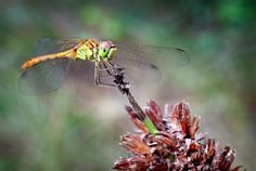 Attracting dragonflies to your garden - some good ideas here.