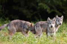 Wolf pups grow..... young wolves by Dave Moskowitz
