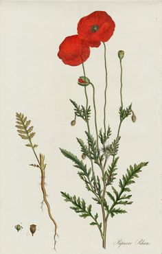Poppy, Papaver rhoeas One of the best prints in the work full margins not shown . Poppy, Papaver r Plant Illustration, Botanical Illustration, Botanical Drawings, Botanical Prints, Flanders Poppy, Poppy Drawing, Indoor Flowering Plants, Poppies Tattoo, Red Poppies