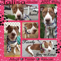 This sweet calm girl is looking to get out of the shelter! Help her do that by sharing her. ACCT PHILLY