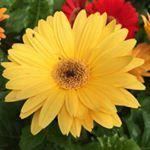 Gerber daisy to brighten this dreary day  daisy flower gloomyday houston htx houstonblogger tuesday