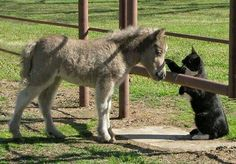 Meeting the miniature horse Animals And Pets, Baby Animals, Funny Animals, Cute Animals, Beautiful Horses, Animals Beautiful, Cute Donkey, Baby Donkey, Tiny Horses