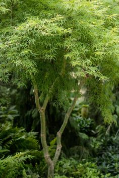 Buy Seiryu Japanese Maple For Sale Online From Wilson Bros Gardens Acer Garden, Japenese Maple, Japanese Maple Varieties, Dwarf Mondo Grass, Trees Online, Corner Garden, Plant Catalogs, Acer Palmatum, Maple Tree