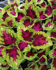 Shade Plants - Kong Rose Coleus  In my 2012 Coleus garden