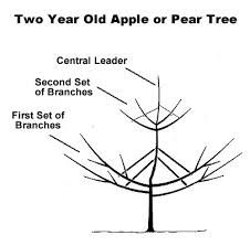 This article will teach you how to prune an Apple and Pear Tree. Pruning Fruit Trees, Tree Pruning, Tree Diagram, Plum Tree, Pear Trees, Tree Care, Apple Pear, Apple Tree, Lawn And Garden