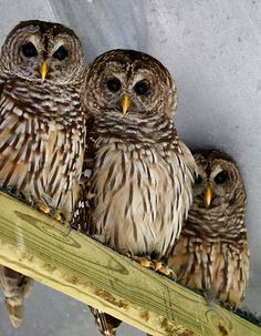 a family of barred owls