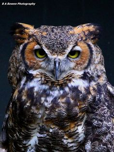 The Great Horned Owl. Sometimes a Great Horned Owl is called a cat owl because the tufts look like cat ears. - Photo by B A Bowen Photography Nature Animals, Animals And Pets, Cute Animals, Owl Photos, Owl Pictures, Beautiful Owl, Animals Beautiful, Great Horned Owl, Owl Bird
