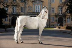 Lipizzan stallion Maestoso Amata