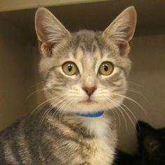 Adopted- Lucy is a 3 month old, female gray tabby domestic short hair kitten. She is a pretty girl who really loves attention. She is very friendly and playful. She is great with other cats and would be good with dogs too. www.poainc.org #greytabby #adoption