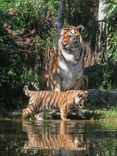 tigers are forever, Cute Funny Animals, Cute Baby Animals, Cute Cats, Tiger Pictures, Cute Animal Pictures, Nature Animals, Animals And Pets, Beautiful Cats, Animals Beautiful