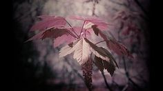 pink maple leaf