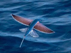 Flying fish, South Atlantic Ocean off of Angola, Africa. It's mysterious, curious, & interesting.