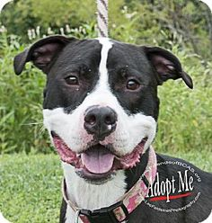 Westampton, NJ - American Staffordshire Terrier Mix. Meet Clarence D-59334 **Pooch with Perks**, a dog for adoption. http://www.adoptapet.com/pet/11112206-westampton-new-jersey-american-staffordshire-terrier-mix