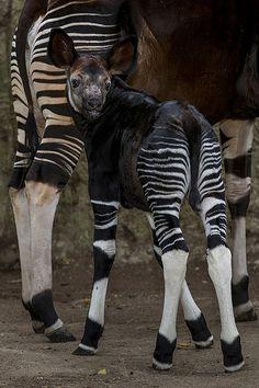 Okapia johnstoni Calf Makes Debut at San Diego Zoo