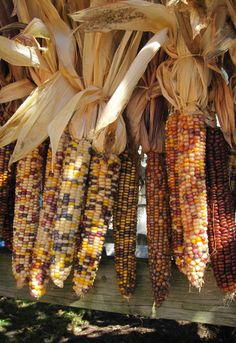 Indian corn in all its glory!