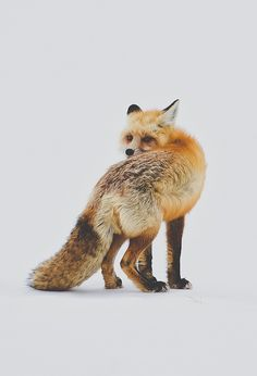 Foxes are one of my favorite animals, next to bats