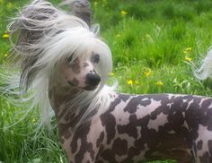 For my Cami, she's not quite as judgey as her momma. Chinese Crested Dog!