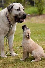 kangal - Google zoeken Cute Cats And Dogs, Big Dogs, Large Dogs, Alabai Dog, Kangal Dog, Anatolian Shepherd, English Bulldog Puppies, Street Dogs, Guide Dog
