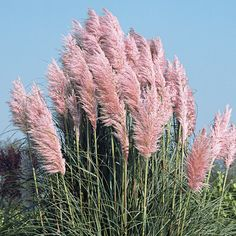 Cortaderia selloana Pink Feather - Pampas grass 'Pink Feather'