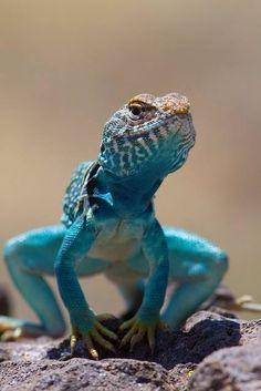 Blue Lizard ~ By Cam Held Photo