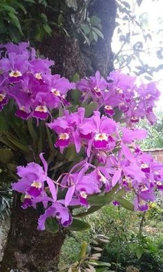 A beautiful sight if found in nature. Exotic Flowers, Amazing Flowers, Beautiful Roses, Beautiful Flowers, Orchids Garden, Orchid Plants, Cattleya Orchid, Types Of Flowers, Flowering Trees