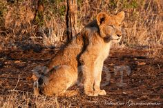 Cucciolo di leone all'alba – Kruger National Park© Valentina Giammarinaro  http://wildshoot.wordpress.com