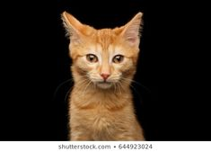 Foto stock de Funny Portrait Happy Smiling Ginger Cat (editar agora) 1154676640 Portrait of Ginger kitten gazing in camera, isolated black background, front view Ginger Kitten, Ginger Cats, Black Backgrounds, Funny, Daddy, Smile, Portrait, Animals, Kitty Cats