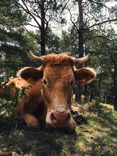 I would Name this cow Bailey. Cute Creatures, Beautiful Creatures, Animals Beautiful, Cute Baby Animals, Farm Animals, Animals And Pets, Fluffy Cows, Le Zoo, Baby Cows