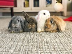 Likes, 42 Comments - Benny Super Cute Animals, Cute Funny Animals, Cute Baby Animals, Cute Baby Bunnies, Cute Babies, In This World, Mini Lop, Cute Buns, Fluffy Bunny