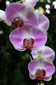 Pink and white orchids, Sepilok, Sabah, Borneo, Malaysia