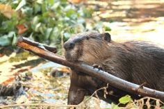 """Beavers are """"nature's engineers"""" and a keystone species providing habitat for a diverse and rich ecosystem.  Photo by Cheryl Reynolds, Worth..."""