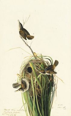 Marsh Wren (Cistothorus palustris), Study for Havell pl. as in N-YHS copy), 1829 Science Illustration, Nature Illustration, Botanical Illustration, Audubon Prints, Audubon Birds, Botanical Drawings, Botanical Art, Bird Artists, Birds Of America