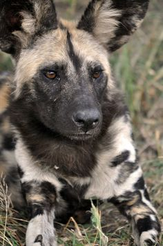 take action. stay inspired. — African Wild Dog | Andy Withers