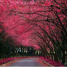 Cherry Blossoms <3