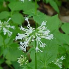 Valerian is a wonderful medicinal herb and makes a very relaxing tea. Called 'the poor man's Valium', also acts like Catnip to cats!