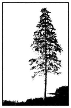 White Pine Silhouette Evergreen Tree Woodland Monochrome Nature Photography