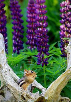 Superb Nature - Summer…Amen by SymplImages Beautiful Creatures, Animals Beautiful, Baby Animals, Cute Animals, Purple Garden, All Gods Creatures, Chipmunks, Animal Kingdom, Pet Birds