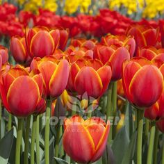 Red, yellow and orange colored tulips, worlds favorite, create beautiful landscapes. Check our shop for more garden design, flower bed & landscaping ideas.