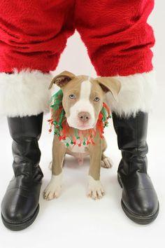 Pet Dog Pitbull Christmas Portrait by 863furtography