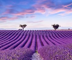 While lavender blooms all over France's southern region, two hours north of Bandol are field upon field of the iconic herb. You have until early July to visit the fields in Provence. From mid-July, you can see the harvest in the Valensole plateau. However, if you what to see the most delicate lavender in bloom […] The post Provence in Bloom appeared first on A Luxury Travel Blog. Lavender Fields France, Provence Lavender, French Lavender Fields, Lavender Blue, Belle France, Freedom Travel, Nature Sauvage, Valensole, Saint Michel