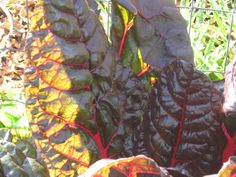 Red Chard is a beautiful food for Losing Weight, Fighting Cancer and Reversing Diabetes http://www.diabeteshealthcure.blogspot.com/?view=classic