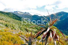 Mountain Neinei (Dracophyllum traversii), The Kahurangi National Park Royalty Free Stock Photo