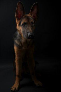 Hope, the happy german shepherd, studio shooting.  Shot with Nikon D700