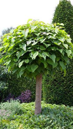 Catalpa Bignonioides Nana, or Indian Bean Tree Nana, is a more compact. These dwarf Catalpas trees are grown and shaped as full standard trees. For Sale Online Backyard Flowers, Small Trees, Garden Shrubs, Easy Landscaping, English Garden, Plants, Tropical Garden, Small Trees For Garden, Backyard Landscaping